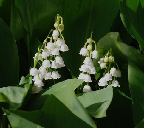 bunga-putih